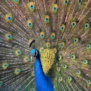 La queue du paon mâle déployée. Source: wikipédia.