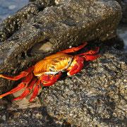 Rote Kliffkrabbe - überall auf den Galápagos Inseln