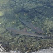 Weissspitzen-Riffhaie zum Greifen nah - Insel Isabela