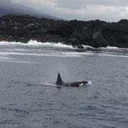 Orca (Killeral) auf den Galápagos Inseln