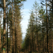 Plantation de résineux à l'alignement compatible avec l'exploitation sylvicole mécanisée - Sauviat-sur-Vige