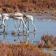 Rosaflamingo, Greater Flamingo, Phoenicopterus ruber, Cyprus, Akrotiri - Limassol Port - Lady´s Miles Pool, Dezember 2017