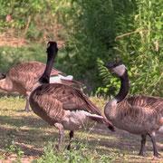 Brandu canadensis, Kanadagans, Canada Goose, Video Snapshoot, Germany, Wagbachniederung  2017