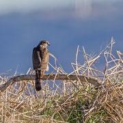 Accipiternisus - Sparrowhawk - Sperber, Cyprus, Mandria Fields, November 2012