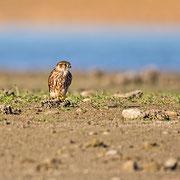 Falco columbarius - Merlin - Merlin, Cyprus, Akhna Dam, November 2014