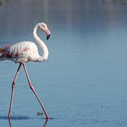 Rosaflamingo, Greater Flamingo, Phoenicopterus ruber, Cyprus, Akrotiri - Lady´s Miles Pool, Dezember 2017