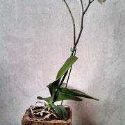 Maceta en fibra de coco con orquidea.