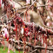 Nach Frühlingsanfang - Martenizi auf dem ersten blühenden Baum