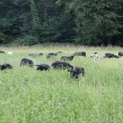 Schafe auf Kleegras