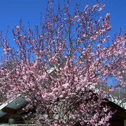 Le Magnolia de la MARPA