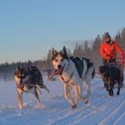 Schlittenhundetour in Schwedisch Lappland