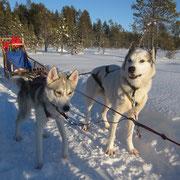 Lapplands Drag Hunde