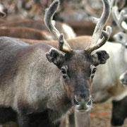 Lappland Rentier