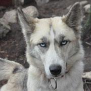 Seppala  siberian husky Deer Creek`s Maxie