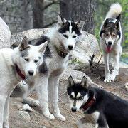 Schlittenhunde im Rudel / Lappland