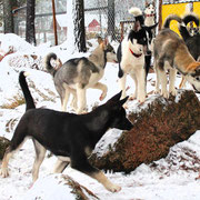 Huskys in Lappland