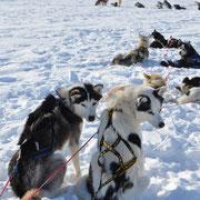 Siberian Huskys pausieren bei einer Expeditionstour
