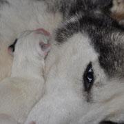 Electra med en huskyvalp