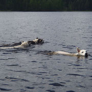 Polarhunde im Wasseer