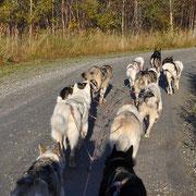 Huskies in voller Fahrt