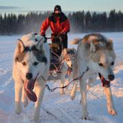 Huskygespann in voller Fahrt durch Lappland