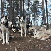 Unsere Siberian Huskies in Harmonie
