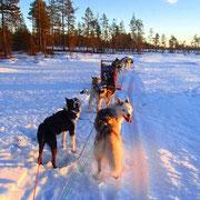 Unsere Lapplandhuskies auf Tour