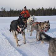 Schlittenhunde fahren in Schweden