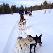 Hundeschlittenfahren in Skandinavien