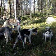 lyckliga draghundar i lapland