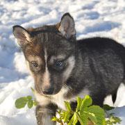 Welpe Uno findet  noch  was Grünes im Schnee