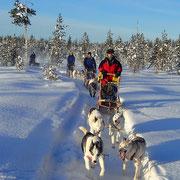 Huskytour in weisser Landschaft Lapplands