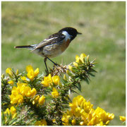 Rohrammer (engl. Reed bunting)