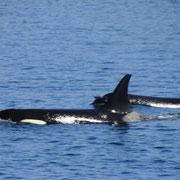 Orcas der A30-Familie