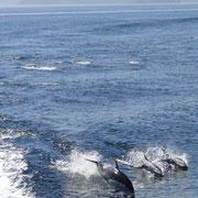 Delphine surfen in der Heckwelle