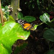 Schmetterling im Vancouver Aquarium