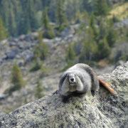zur Begrüssung an der Bergstation gleich das erste Murmeltier