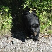 Schwarzbär Männchen