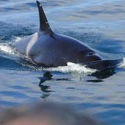 Orca kurz vorm Rammen