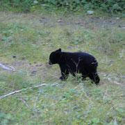 Baby Schwarzbär