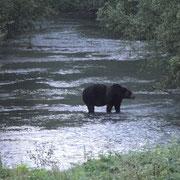 anderer Grizzly etwas weiter weg