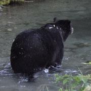 Alpha-Grizzly beim morgendlichen Bad (3m von uns entfernt, wow)