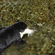 Schwarzbär Männchen mit Fisch