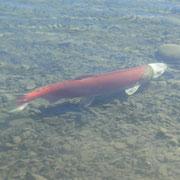 lebender Lachs