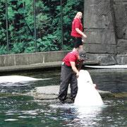 Beluga im Vancouver Aquarium