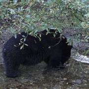 Schwarzbärmännchen beim Frühstück