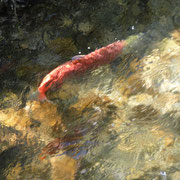 Lachse bei den Hardy Falls