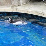 Porpoise (Tümmler) im Vancouver Aquarium
