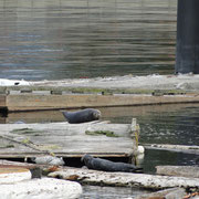 Seals im Vancouver Harbour