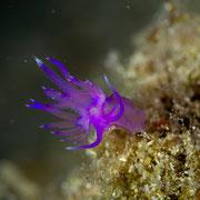 Flabellina affinis - Violette Fadenschnecke